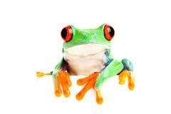 横幅等青蛙查出的白色 库存照片