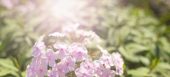 横幅美丽的小桃红色花自然被弄脏的背景 免版税库存图片