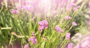横幅美丽的小桃红色花自然被弄脏的背景 免版税库存照片