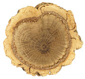 横断面:与厚实,不规则的黄柏吠声圆环的软木树树干 免版税图库摄影