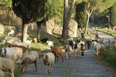 横渡古老Appianian方式的许多绵羊在罗马 库存照片