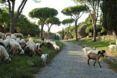 横渡古老Appianian方式的许多绵羊 免版税库存图片