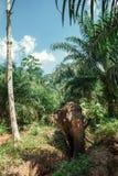 横渡密林的亚洲大象 免版税库存图片