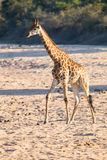 横渡干燥河床的长颈鹿寻找新鲜的树 免版税库存图片