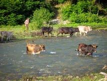 横渡河乡下农夫的母牛 穿过河的母牛在绿色树和人农夫背景的乡下  图库摄影