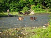 横渡河乡下农夫的母牛 穿过河的母牛在绿色树和人农夫背景的乡下  免版税库存图片