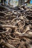 横渡的树根 库存照片