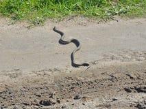 横渡道路的蛇 库存照片