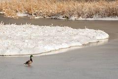 横渡结冰的沼泽地的野鸭鸭子 库存照片