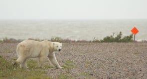 横渡1的北极熊 库存图片