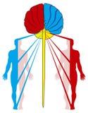 横穿纤维神经 库存照片