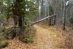 横跨一串足迹的下落的桦树在鸭子山省公园的,马尼托巴森林里 库存照片