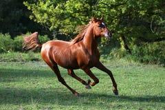 横跨夏天草甸的阿拉伯公马奔跑疾驰 免版税库存图片