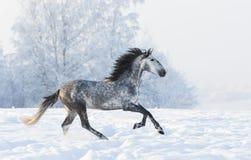 横跨多雪的领域的起斑纹灰色公马疾驰 库存图片