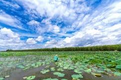 横跨收获在绽放的莲花的沼泽的农夫在莲花季节 免版税图库摄影