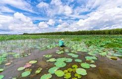 横跨收获在绽放的莲花的沼泽的农夫在莲花季节 免版税库存照片