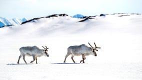 横跨斯瓦尔巴特群岛雪的两头驯鹿步行  免版税库存照片