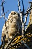 横跨树上面的年轻猫头鹰之子扫描 免版税库存图片