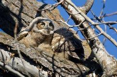 横跨树上面的年轻猫头鹰之子扫描 库存照片