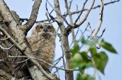 横跨树上面的年轻猫头鹰之子扫描 免版税库存照片