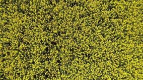 横跨油菜籽领域的空中寄生虫录象剪辑飞行 股票录像