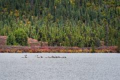 横跨湖的北美驯鹿游泳 图库摄影