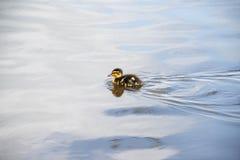 横跨湖的微小的鸭子游泳 图库摄影