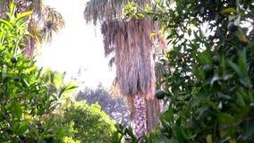 横跨美丽的椴树的平底锅 在棕榈树背景  影视素材