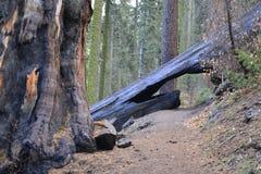 横跨美国加州红杉的桥梁 免版税图库摄影