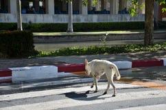 横跨行人穿越道的狗 库存照片