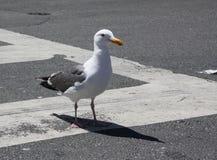 横跨街道横穿的海鸥高视阔步 图库摄影