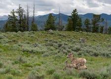 横跨领域和羊羔跑的大角野绵羊 库存照片