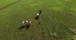 横跨领域的母牛步行 影视素材