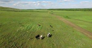 横跨领域的母牛步行 股票视频