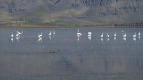 横跨Berufjordur的看法,在环行路,有美洲鹤的冰岛 库存图片