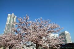 横滨地标塔和樱花 免版税库存照片