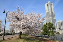 横滨地标塔和樱花 免版税图库摄影