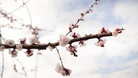 樱桃一个开花的分支的细节  图库摄影