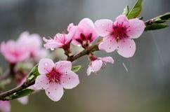樱桃佐仓在自然背景在雨中开花 桃红色花 花桃红色春天 从庭院的花 库存图片