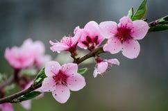 樱桃佐仓在自然背景在雨中开花 桃红色花 花桃红色春天 从庭院的花 库存照片