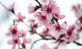 樱桃佐仓在雨中开花反对蓝天 桃红色花 花桃红色春天 从庭院的花 库存照片