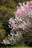 樱桃双开花了红色结构树白色 免版税库存图片