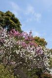 樱桃双开花了红色结构树白色 库存图片