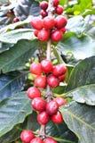 樱桃咖啡豆 免版税库存图片