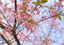 樱桃喜马拉雅通配 库存照片