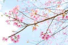 樱桃喜马拉雅通配 免版税库存照片