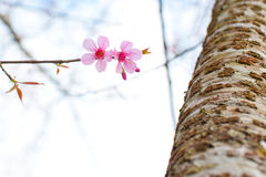 樱桃喜马拉雅通配 免版税图库摄影