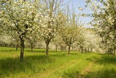 樱桃园春天结构树 免版税库存照片