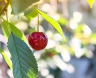 樱桃在一棵树的叶子特写镜头在庭院里 库存照片