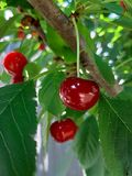 樱桃在一棵树的莓果特写镜头在庭院里 免版税库存图片